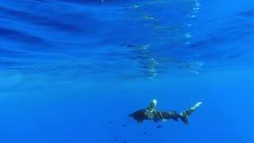 Un tiburón blanco oceánico de la extremidad metrajes