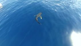 Un tiburón blanco oceánico de la extremidad almacen de video