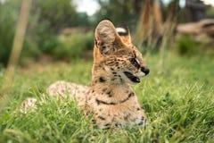 Un tierboskat joven que se sienta en la hierba verde larga Foto de archivo