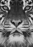 Un tigre Photos stock