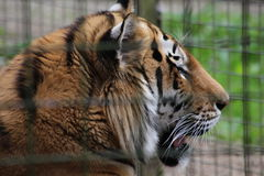 Un tigre Images stock