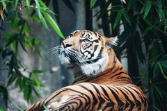 Un tigre avec un sens de la suprématie Images stock