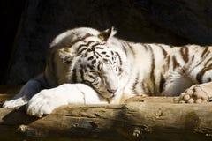 Un tigre blanc dormant sous le soleil Image stock