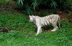 Un tigre blanco. Fotos de archivo