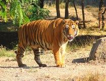 Un tigre de Bengala Imágenes de archivo libres de regalías