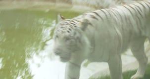 Un tigre de Bengala blanco almacen de video