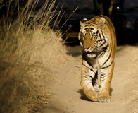 Un tigre de Bengala masculino que camina a lo largo de una trayectoria de bosque Imagen de archivo libre de regalías