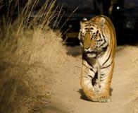 Un tigre de Bengale masculin marchant le long d'un chemin forestier Image libre de droits