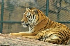 Un tigre de pensamiento imagenes de archivo
