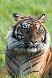 Un tigre de Sumatran que se sienta solamente Fotografía de archivo