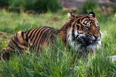 Un tigre de Sumatran, qui habite ? l'origine l'?le indon?sienne de Sumatra photo stock
