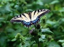 Un tigre del este Swallowtail imagen de archivo