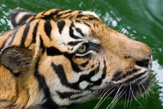 Un tigre en agua Foto de archivo libre de regalías
