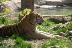 Un tigre en el Sun Imagen de archivo libre de regalías
