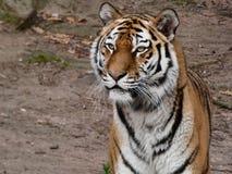 Un tigre está esperando la comida imágenes de archivo libres de regalías