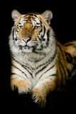 Un tigre listo para atacar Imagen de archivo libre de regalías