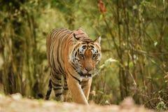Un tigre masculino dominante en un paseo de la mañana en un fondo verde en el parque nacional del kanha, la India imagen de archivo