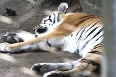 Un tigre que duerme en un parque zoológico imagen de archivo libre de regalías