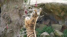 Un tigre saute pour attraper la nourriture accrochante banque de vidéos