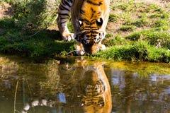 Un tigre siberiano es agua potable Foto de archivo libre de regalías