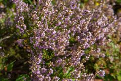 Un timo del fiore Fotografia Stock