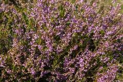 Un timo del fiore Fotografie Stock