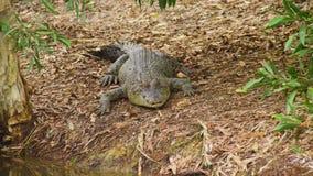 Un tir d'un crocodile sur la terre banque de vidéos