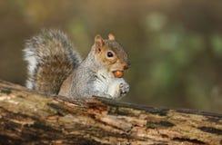 Un tir humoristique d'un carolinensis doux de Grey Squirrel Scirius avec un gland dans sa bouche image libre de droits