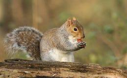 Un tir humoristique d'un carolinensis mignon de Grey Squirrel Scirius mangeant un gland se reposant sur un rondin photos stock