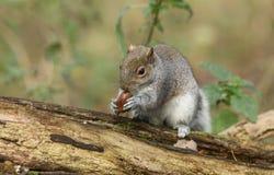 Un tir humoristique d'un carolinensis mignon de Grey Squirrel Scirius se reposant sur un rondin tenant un gland photographie stock libre de droits