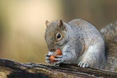 Un tir humoristique d'un carolinensis mignon de Grey Squirrel Scirius tenant deux noisettes se reposant sur un rondin images stock
