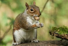 Un tir humoristique d'un carolinensis mignon de Grey Squirrel Sciurus se reposant sur un rondin avec un gland dans sa bouche photographie stock libre de droits