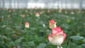Un tir parti en mouvement sur les roses blanches et roses énonçant à la fleur banque de vidéos