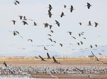 Un tiraggio di Sandhill Crane Flock Flies Above Whitewater immagine stock