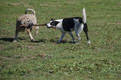 Un tirare di due cani lo stesso bastone immagine stock