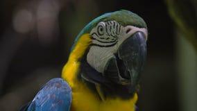 Un tiro cercano de un loro estricto del macaw en un día caliente es un pico negro grande abierto debido al calor, el plumaje amar almacen de video