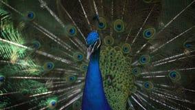 Un tiro cercano de una cresta confusa del azul de pavo real y de un tronco azul brillante, a los cuales fluffed la cola con las p metrajes