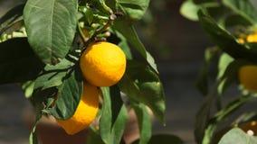 Un tiro de los limones frescos que crecen en un árbol almacen de metraje de vídeo