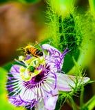 Un tiro imponente de una abeja que toma vuelo de una flor hawaiana después de la polinización Imagen de archivo