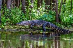 Un tiro inusual de un cocodrilo americano grande (mississippiensis del cocodrilo) que camina en un banco del lago en el salvaje Foto de archivo libre de regalías