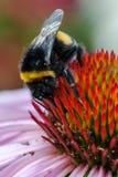 Un tiro macro de un abejorro encima de un coneflower rosado Fotos de archivo