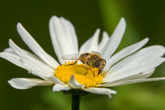 Un tiro macro de a hoverfly Fotografía de archivo