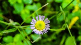 Un tiro macro de una flor blanca minúscula con un centro amarillo fotos de archivo libres de regalías