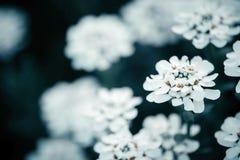 Un tiro macro de una floración del iberis Imagenes de archivo