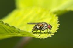 Un tiro macro de una mosca Imagen de archivo
