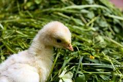 Un tiro macro, pavo del polluelo en la hierba Fotografía de archivo