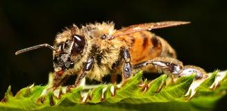 La belleza de una abeja Fotografía de archivo libre de regalías