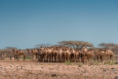 Un tiro soleado de una manada de camellos debajo de un cielo azul despejado, belio foto de archivo