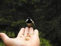 Un Tit encaramado en una mano Foto de archivo libre de regalías