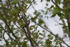 Un tit hermoso que descansa sobre una rama, con un verso en el pico Vista lateral Fotografía de archivo libre de regalías